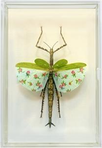 Phasmatodea Pulchella